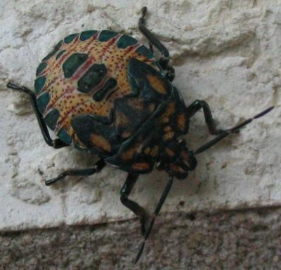 mysterybug.jpg